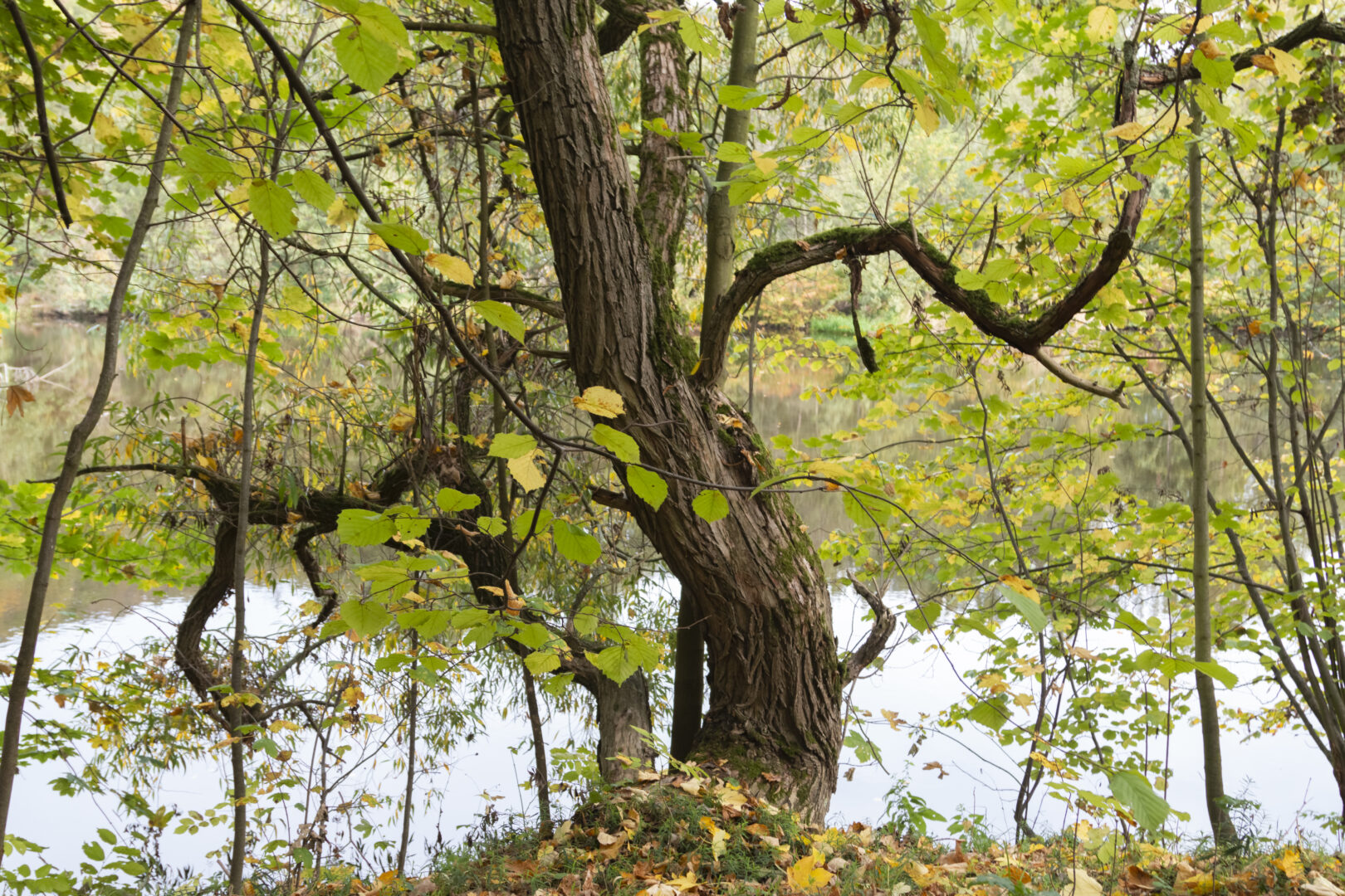 Ein alter verwinkelter Baum am Wasser