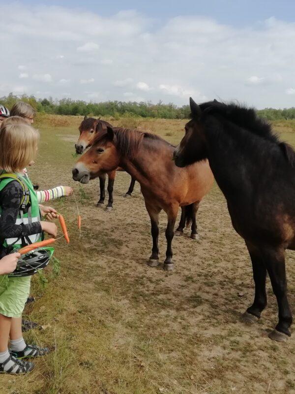 3 Exmoore-Ponys (Wildpferde) werden von den Jungen Naturwächtern mit frische Möhren gefüttert